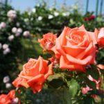 三太郎農園バラ