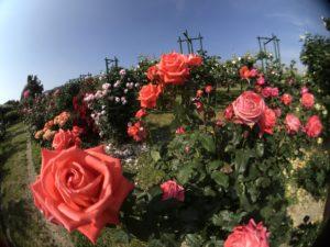 三太郎農園 バラ
