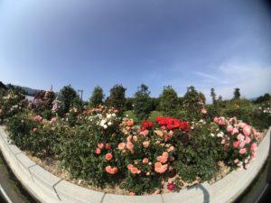 三太郎農園バラ園